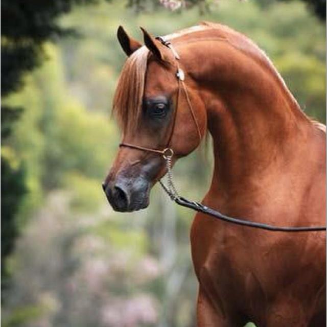 Chestnut arabian horses - photo#2