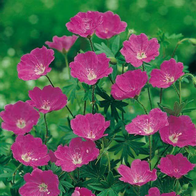 Der blutrote Storchschnabel hat seinen Namen wegen seiner violett-roten Blüten und der roten Laubfärbung im Herbst. Da der Wurzelstock viele Anteile an Gerbstoffen enthält. wurde diese Pflanze damals zum Gerben genutzt. Auch in der Medizin fand der Blutrote Storchschnabel Verwendung als blutstillendes Mittel.Der Storchschnabel erreicht eine Höhe von ca. 25 cm und ist bodenbedeckend. Er blüht von Juni bis September und ist sonnen-, licht- und wärmeliebend. Sie sollten einen trockenen und…