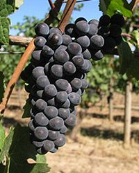 "The ""prima donna"" of grapes and one of my favorite reds. Pinot Noir."