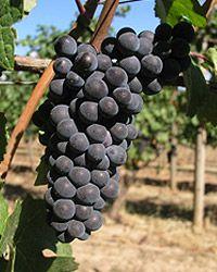 Pinot noir - Wikipedia