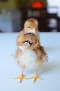 my squinty chicks... baby bantams: Baby Chick, Baby Bantam
