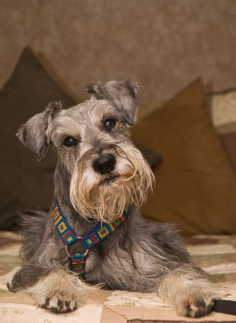 What does the word schnauzer mean in english