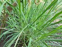 Citronella grass to repel flying insects.  Must be in a pot because it's an invasive species.