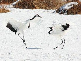 Kushiro Shitsugen National Park - Hokkaido,Japan dancing cranes
