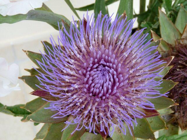 Fleur d'artichaut   Fleur d'artichaut, Fleurs, Jardins