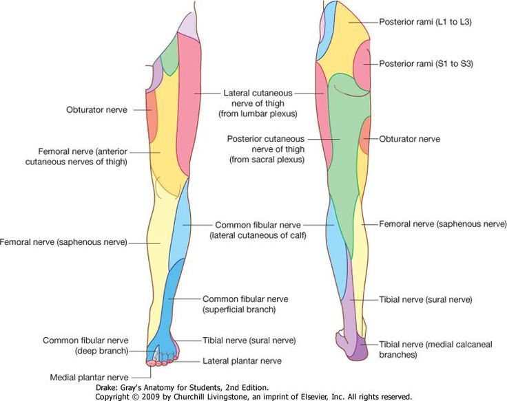 ll peripheral nerve distribution | medical study | pinterest, Muscles