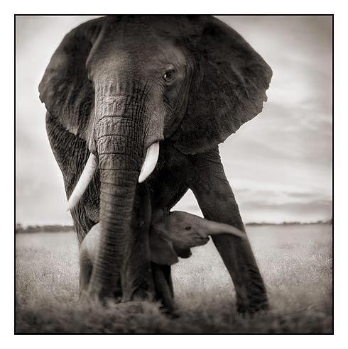 Elephants: Photos, Mom Baby, Mothers, Beautiful Animal, Baby Elephants, Nick Brandt, Rolls Tide, Legs, Photography