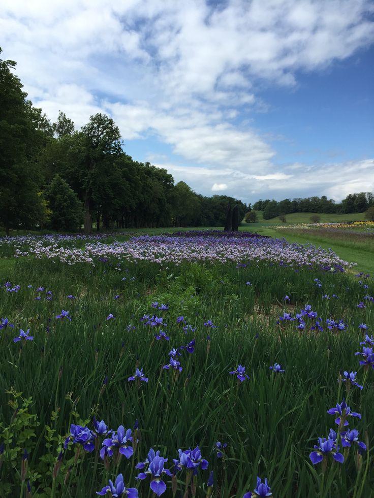 Dégradé d'iris lilas et violets foncés (2015)
