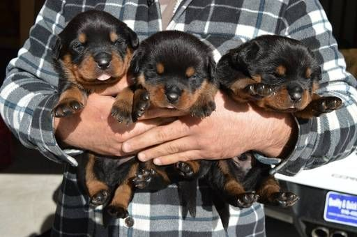 Litter of 4 Rottweiler puppies for sale in RIO LINDA, CA. ADN-28177 on PuppyFinder.com Gender: Female. Age: 3 Weeks Old