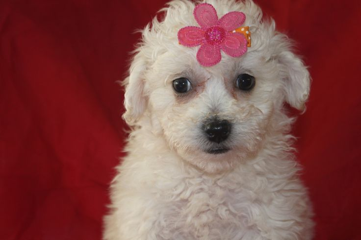 Bichon Puppies For Sale - Here is another female bichon puppy in the litter at http://www.network34.com