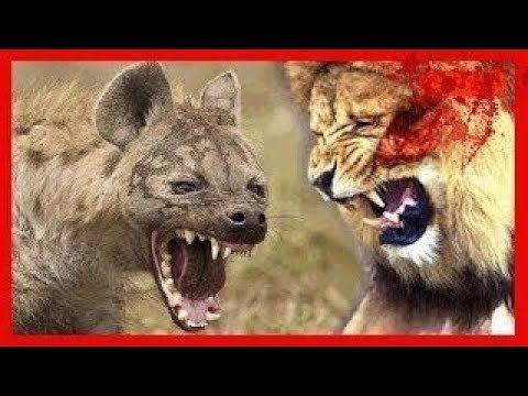 ANIMALES PELIGROSOS 👅👍  LEONES CONTRA BUFALOS,AFRICA SALVAJE,TOP DOCUMEN...