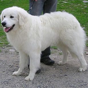 Slovensky Cuvac   21 Awesome Dog Breeds You've Never Heard Of And Need To Know About Immediately