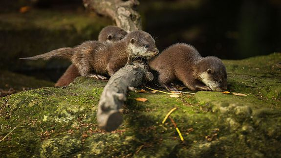 Baby otters scamper happily oblivious to Brangelina news