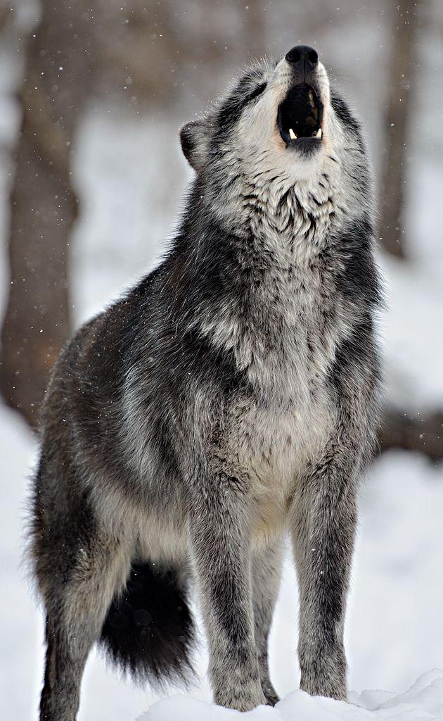 7867 best Wolves images on Pinterest | Wild animals, Wolf ...