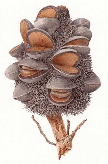 illustration: Banksia formosa. Australian Wildflowers.