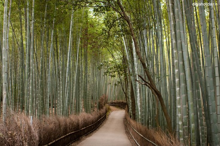 """Bamboo groves of Arashiyama in Kyoto, Japan often referred to as the """"Bamboo Forest,"""" this tree-lined path is popular for walks and bicycle rides on a nice day. goo.gl/KV7EZC"""