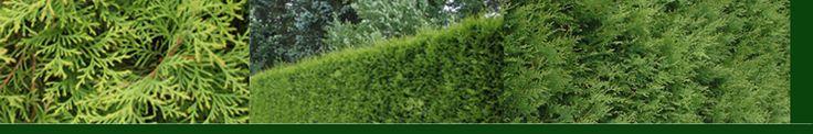 Brabant - Thuja occ. Brabant Deze haagconifeer is te koop bij Haagplanten4you.nl  Is zeer mooi wintergroen en goed te snoeien in de vorm die je wilt. Snoeien 1x per jaar. Er wordt gesnoeid in de periode van half april tot augustus.