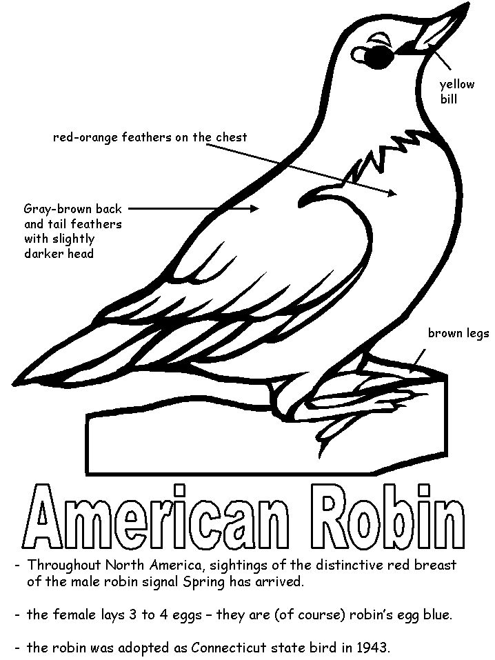 American Robin coloring page