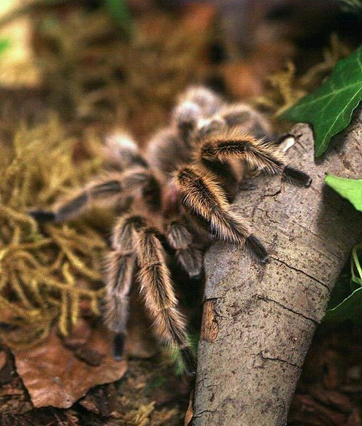 The rose tarantula, which gets its name from its long red or pink hairs. This spider has been known to live for up to 20 years!""