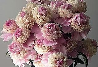 Nadia Peonies - Fine, pretty bunch of colors. Medium height, dark leaves, strong stems. Early Midseason. Fragrant.