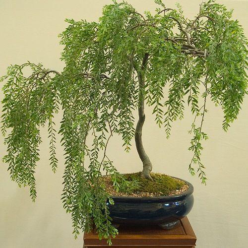 Weeping willow bonsai