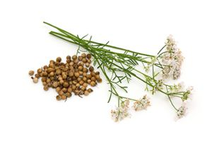 Better Than Vitamin D? – Revolutionary New Coriander Oil May Be Your #1 Weapon in Your Fight for Better Health | RiseEarth