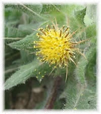 ~Blessed Thistle:  An herb of protection used in the ritual bath. It is also used to counteract hexing. Thistle brings spiritual, physical and financial blessings. Carry one to bring joy, energy vitality and protection. A shirt with thistle fibers woven into it will protect the wearer from any evil spell. Thistles make men better lovers. The herb has been used to make magical wands and to conjure or communicate with spirits.  Also Called: Holy Thistle, Saint Benedict Thistle,