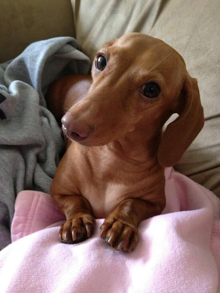 In Dad's effort to cheer me up today, he suggested I start what I have now called, 'My Sunday Pin-Up Girl'...  So this Sunday's Pin-Up Girl is named Amber, from VA. She likes long walks & healthy treats, & of course is a big fan of yours truly ; ) - photo via Crusoe the Celebrity Dachshund fb