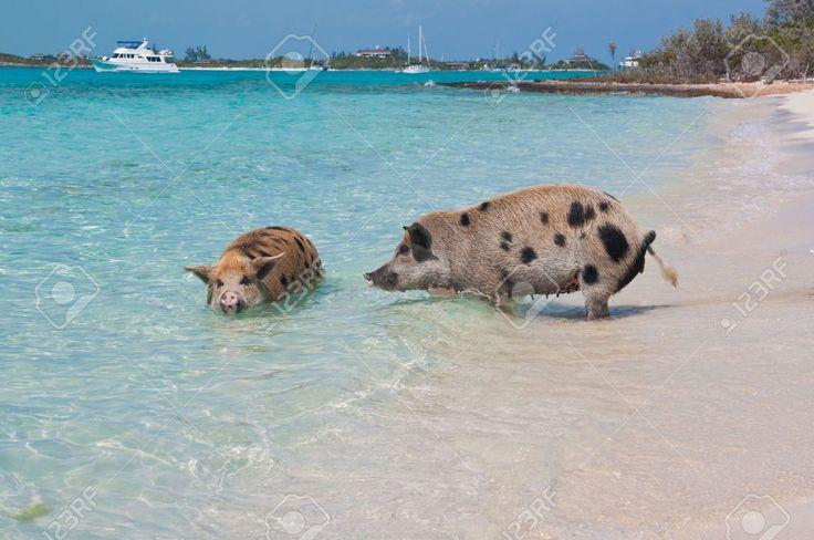Pigs Island Exuma Bahamas. on Pinterest | Swimming Pigs, Pig Island ...