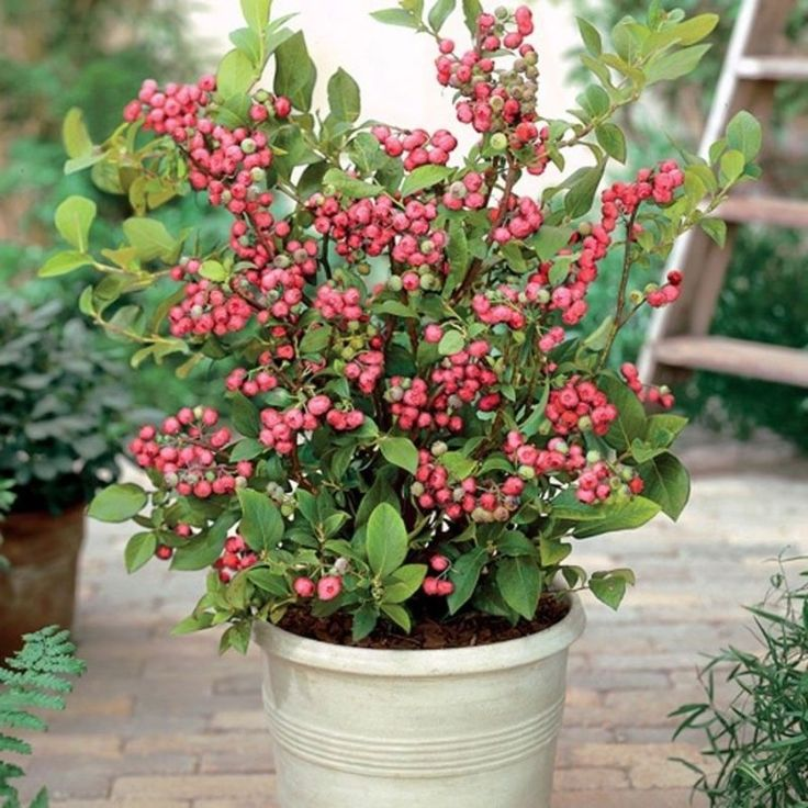 Unusual Fruit You Need to Grow in Your Garden Blueberry PlantBlueberry BushesPink Lemonade BlueberryContainer