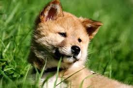 Dingo puppy!