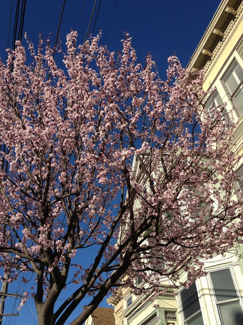 Flowering plum tree, Noe Valley, San Francisco 2/13  (image via @NVSF)