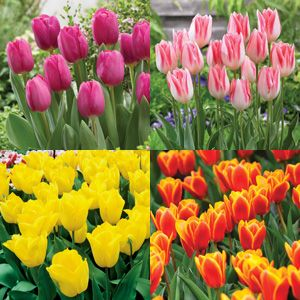 TULIP TRIUMPH COLLECTION PRE-ORDER x 20bulbs - Garden Express