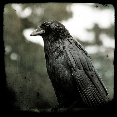 """the crow"": Crows Ravens, The Crows, Art Photography, Gothic Crows, Summer Rain, Crows Art, Gothic Ravens, Crows Rain, Birds Noir"