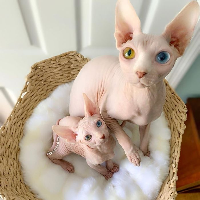 My Daughter Researched That A Sphynx Is The Best Cat For Our Family And Although I Was Hesitant At First She Was Right Kitten For Sale Sphynx Kittens For Sale Sphynx