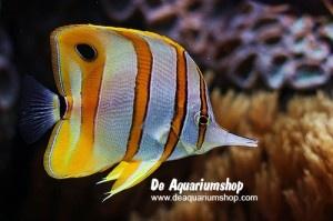 Welkom in de webshop van de aquariumshop. We zijn dan nog wel erg druk met het vullen van onze webshop maar vanaf 28 januari 2012 is het dan toch echt een feit, De aquariumshop opent officieel zijn deuren.