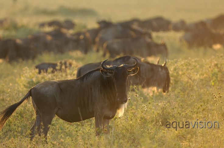 https://flic.kr/p/SLajdB | AWG_20070617_0005.jpg | Wildebeest (Connochaetes taurinus) in high grass looking at camera with others in the background, in soft morning light.