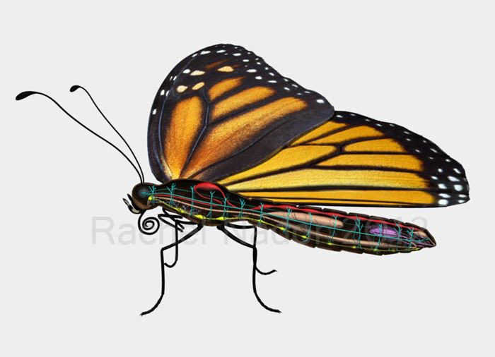 Anatomy of Butterfly Body Parts - Bing Images Butterflys/Moths