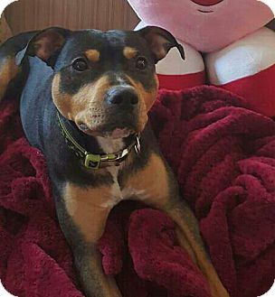 Rottweiler/Pit Bull Terrier Mix Dog for adoption in New York, New York - Wind