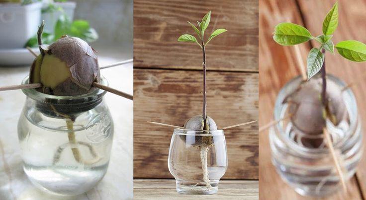 Cómo germinar un aguacate | Plantas