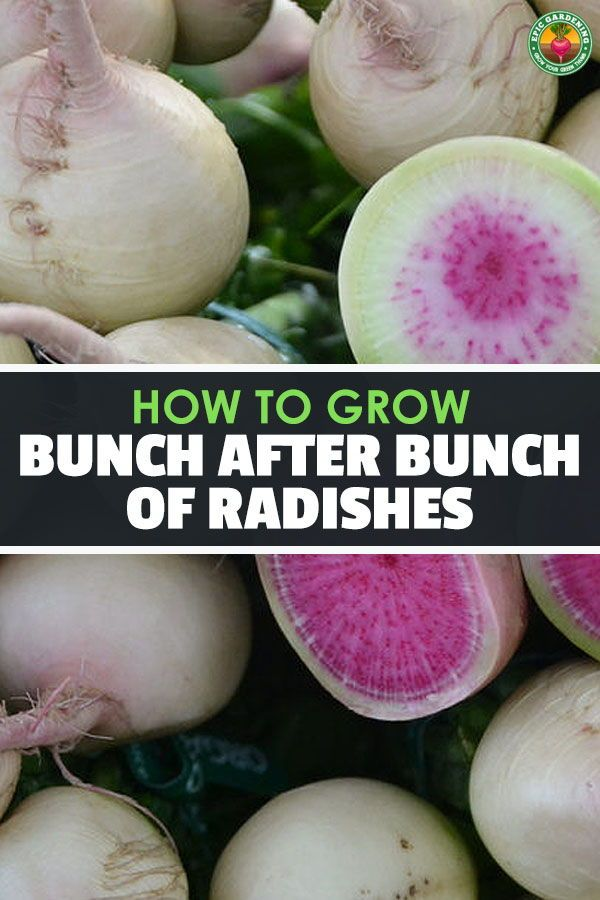 How To Grow Radishes From Start To Finish Easy Vegetables To