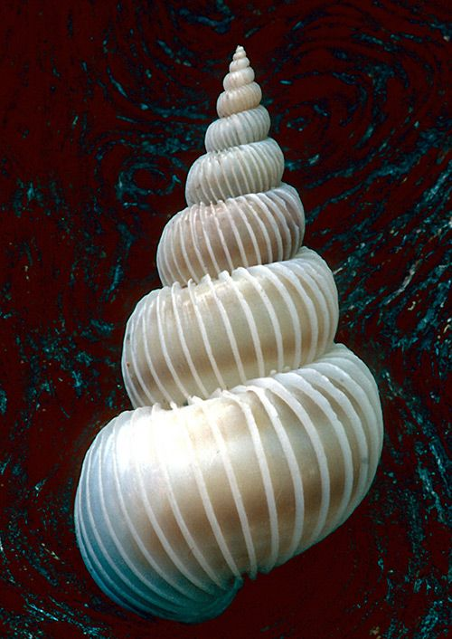 ღღ Wentletrap Shell  ~~~~ Shells are Swell – Beautiful Examples of Seashell Photography | Inspiration