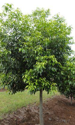 FLINDERSIA oppositifolia (Hoop Pine) Australian Native Tree