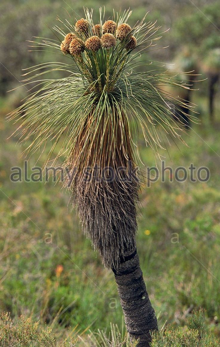 Kingia is a genus consisting of a single species, Kingia Australis. A slow growing plant, native to south west Western Australia, Kingias are similar to grasstrees in habit, except for the flowers. They have one or more trunks, 6 to 8 metres tall, with a large tuft of grassy leaves atop. The flowers give an interesting look to the plant, as yellow-green to brown round flower heads on stalks are held above the mop of foliage
