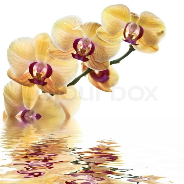 2871104-yellow-orchid-on-white-background-with-reflection.jpg (800×800)