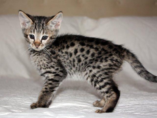 asian leopard kittens for sale | cute serval-ocelot-asian leopard cats