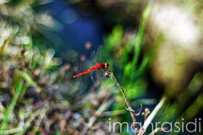 Dragonfly ~ Fotografi - Iman Rasidi