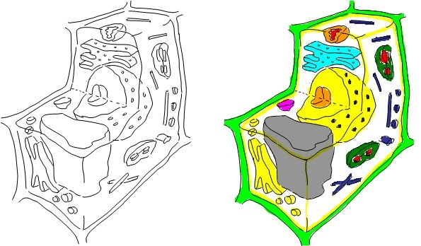 PLant Cell, Cross Section