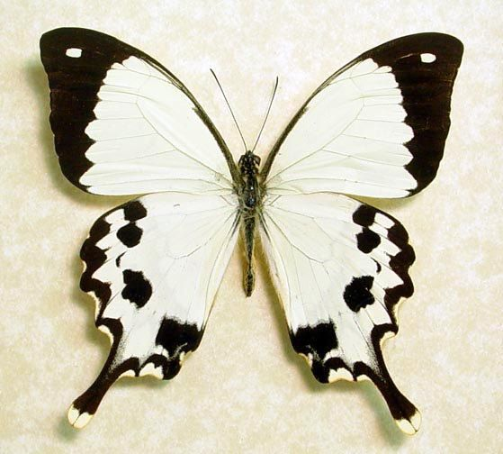 Real Madagascar Swallowtail Framed Butterfly Display 130. $39.99, via Etsy.