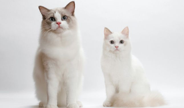 long haired cat breeds,types of big cats,cat life span,animals starting with n,domestic cats,animals that start with l,jungle cats,japanese cat breeds,characteristics list,large domestic cat breeds,white cat breeds,picture of cat,biggest house cat,cat breed selector,types of cat,long hair cat breeds,types of catfish,all cat breeds